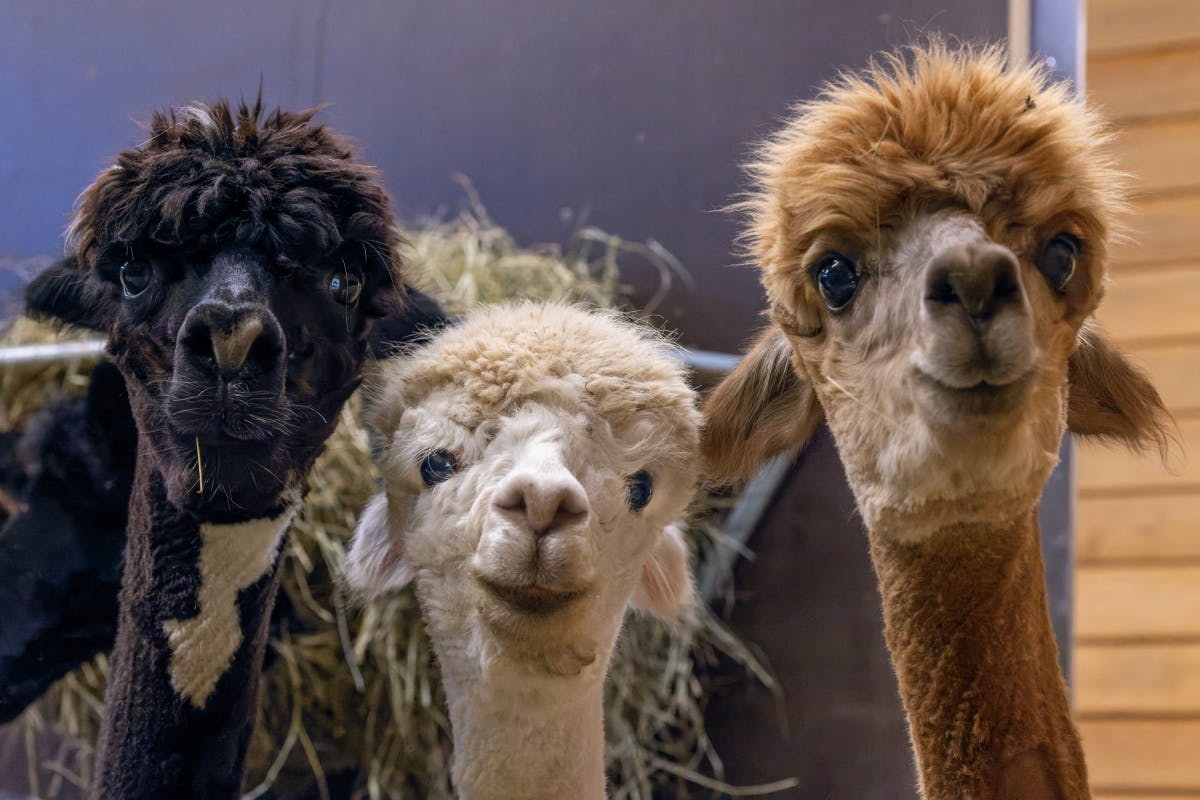 With alpacas against corona: breakthrough in Covid research possible